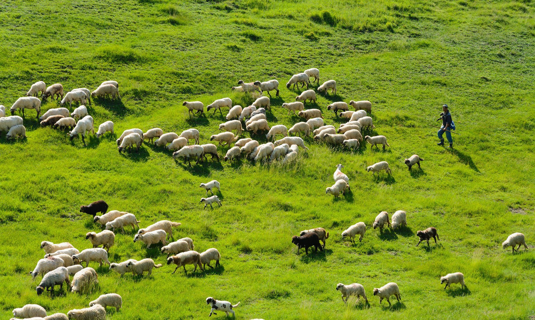 a shepherd leads his flock of sheep across green fields in Northern Romania © Hamish Scott-Brown