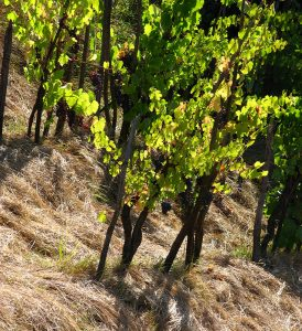 VINES ON A TUSCAN HILL