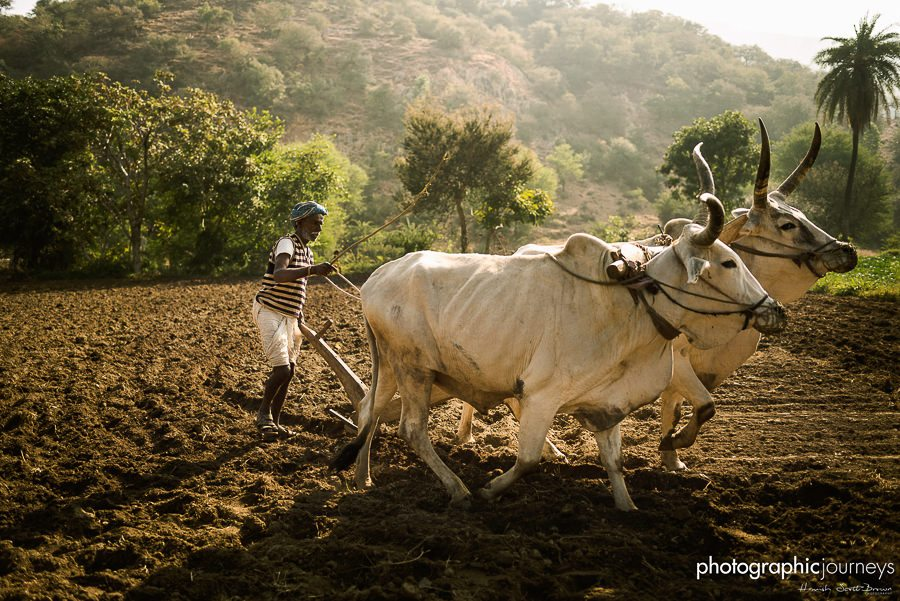 man ploughing a field in autumn morning india © Hamish Scott-Brown