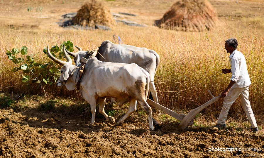 traditional ox plough in rural rajasthan © Hamish Scott-Brown