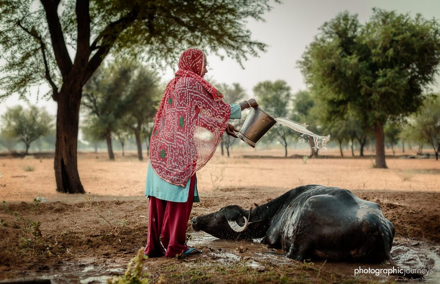 woman washes a cow with bucket of water in rajasthan © Hamish Scott-Brown