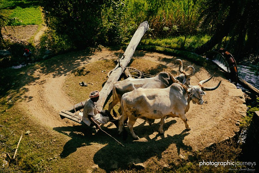 two oxen turning a well in rajasthan © Hamish Scott-Brown