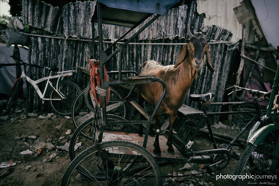 a goat and a bike in rajasthan © Hamish Scott-Brown