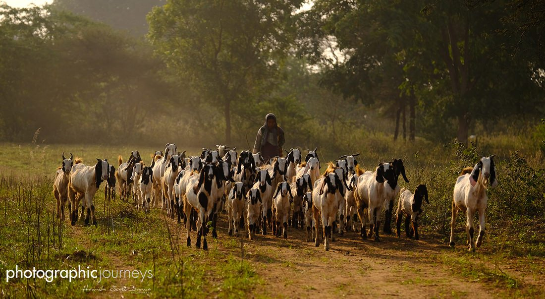 Goat herders at dusk, Bagan, Myanmar Pink Lady Food Photographer of the Year shortlisted entry ©Hamish Scott-Brown